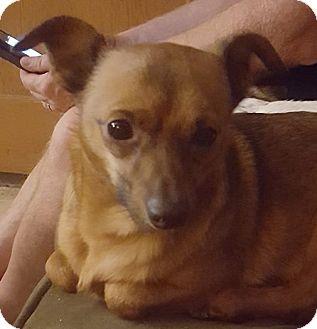 Chihuahua Mix Dog for adoption in Santa Maria, California - Franklin