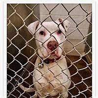Adopt A Pet :: Brutus - Urgent! - Zanesville, OH
