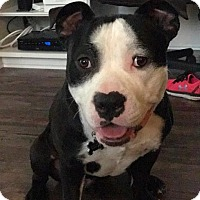 Adopt A Pet :: Domino - Lake Forest, CA