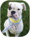 Boxer Dog for adoption in Sunderland, Massachusetts - Petunia