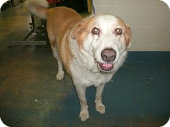 St. Bernard Mix Dog for adoption in Inverness, Florida - Kylee