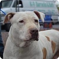 Adopt A Pet :: Leia - N - Las Vegas, NV