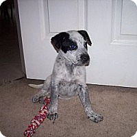 Adopt A Pet :: Dexter - Westbank, BC
