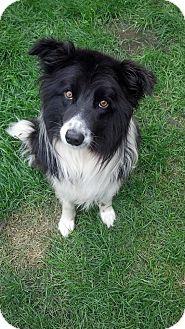 Border Collie Dog for adoption in Brookings, South Dakota - Rex