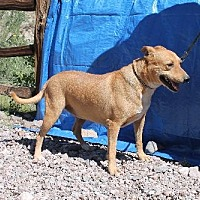 Shar Pei Mix Dog for adoption in Golden Valley, Arizona - Cayenne
