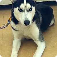 Adopt A Pet :: Bella - Clearwater, FL