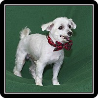 Adopt A Pet :: Carlino - San Diego, CA