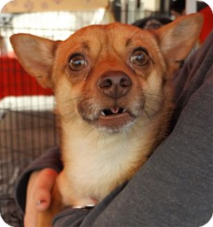 Terrier (Unknown Type, Small)/Chihuahua Mix Dog for adoption in Oakley, California - Bosey