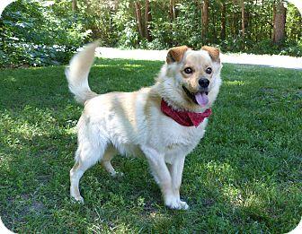 Retriever (Unknown Type)/Spitz (Unknown Type, Medium) Mix Dog for adoption in Mocksville, North Carolina - Rocky