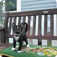 Domestic Shorthair Kitten for adoption in Kinston, North Carolina - Daffodil