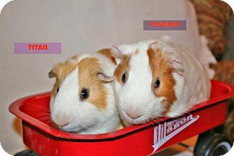 Guinea Pig for adoption in Walker, Louisiana - Titan