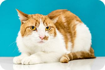 Domestic Shorthair Cat for adoption in Chandler, Arizona - Chestnut