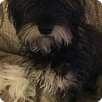Adopt A Pet :: Cheddar #897 - Nixa, MO