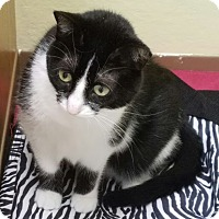 Domestic Shorthair Cat for adoption in La Crescent, Minnesota - Felicia *Perpetual Student
