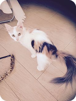 Calico Cat for adoption in Long Beach, California - Tails white Calico