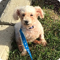 Adopt A Pet :: Cuddles-adoption pending - Schaumburg, IL