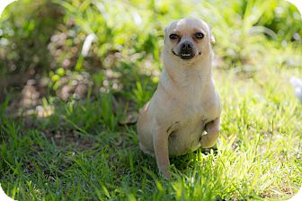 Chihuahua Mix Dog for adoption in Irvine, California - Dora