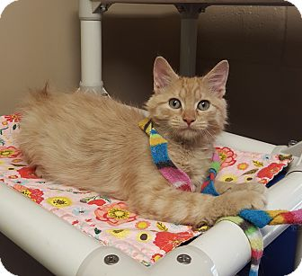Domestic Mediumhair Kitten for adoption in Germantown, Tennessee - Geppetto