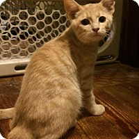 Domestic Shorthair Kitten for adoption in Beacon, New York - Marshmallow