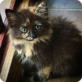 Domestic Mediumhair Kitten for adoption in Gainesville, Florida - Dahlia