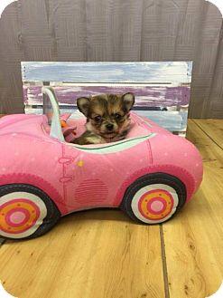 Chihuahua/Pomeranian Mix Puppy for adoption in Shreveport, Louisiana - Birch