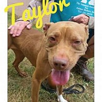 Pit Bull Terrier Mix Dog for adoption in Jackson, New Jersey - Taylor