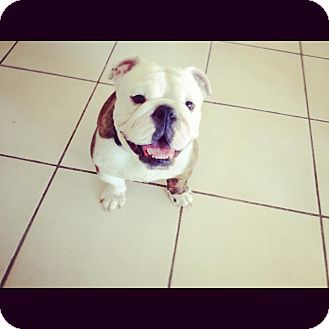 English Bulldog Mix Dog for adoption in Gilbert, Arizona - King