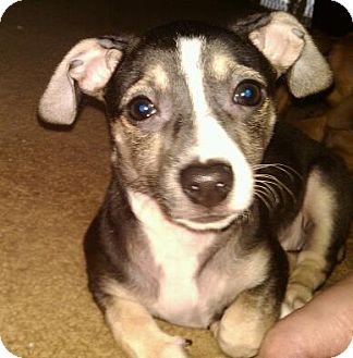 Chihuahua/Dachshund Mix Puppy for adoption in Hilliard, Ohio - Dottie