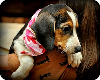 Treeing Walker Coonhound/Beagle Mix Puppy for adoption in Sparta, New Jersey - Baby Ruth