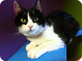 Domestic Shorthair Cat for adoption in Topeka, Kansas - Ricki