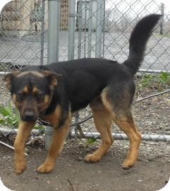 German Shepherd Dog Mix Dog for adoption in Gary, Indiana - Shadow