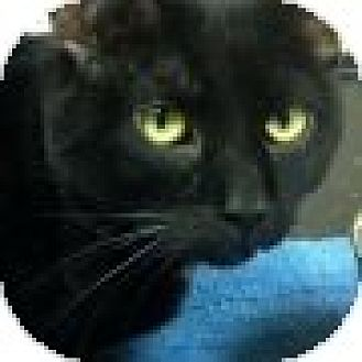 Domestic Shorthair Cat for adoption in Pineville, North Carolina - Cole