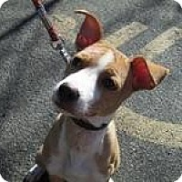 Adopt A Pet :: 97 Daisy - Berlin, CT