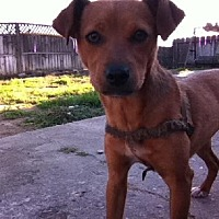 Terrier (Unknown Type, Medium) Mix Dog for adoption in Fresno, California - Ginger Harms