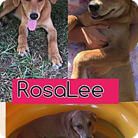 Adopt A Pet :: Rosalee in CT - East Hartford, CT