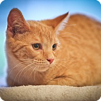 Adopt A Pet :: Sunny - Barrington Hills, IL