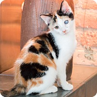 Adopt A Pet :: Oona - Chicago, IL