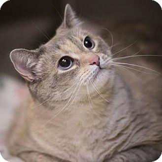 Siamese Cat for adoption in Kettering, Ohio - Angel Cake
