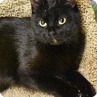 Adopt A Pet :: Scarlett-TINY BLACK BEAUTY - Naperville, IL