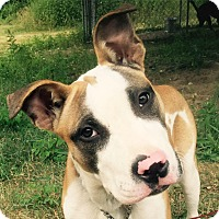 Staffordshire Bull Terrier/Boxer Mix Dog for adoption in oxford, New Jersey - Nacho