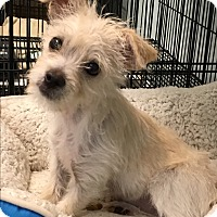Adopt A Pet :: Tofu Baloo-RBF - Spring Valley, NY