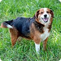 Beagle/Shepherd (Unknown Type) Mix Dog for adoption in Boston, Massachusetts - A - ADA