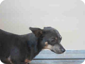 Chihuahua Dog for adoption in Newnan City, Georgia - Mickey