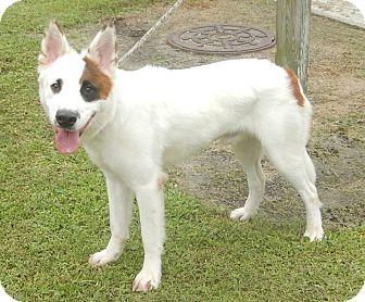Labrador Retriever/Border Collie Mix Dog for adoption in Newport, North Carolina - Theo