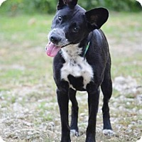 Australian Kelpie Mix Dog for adoption in Pardeeville, Wisconsin - Charlotte