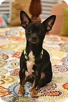 "Chihuahua Mix Dog for adoption in Allentown, Virginia - James ""Bond"""