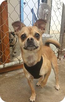 Pug/Chihuahua Mix Dog for adoption in Gardena, California - Stuart Little
