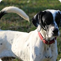 Pointer Dog for adoption in New Smyrna beach, Florida - Lance