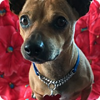Dachshund Mix Dog for adoption in Santa Monica, California - Homer