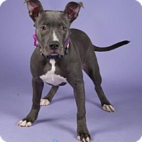 Adopt A Pet :: Dahlia - Irving, TX